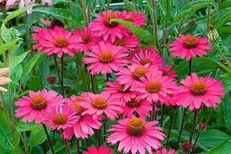 Echinacea-Sensation-Pink-5-2
