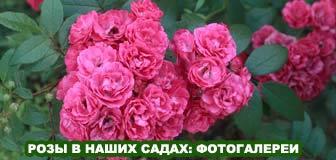 Фотогалереи садов участников форума Розовый сад-онлайн