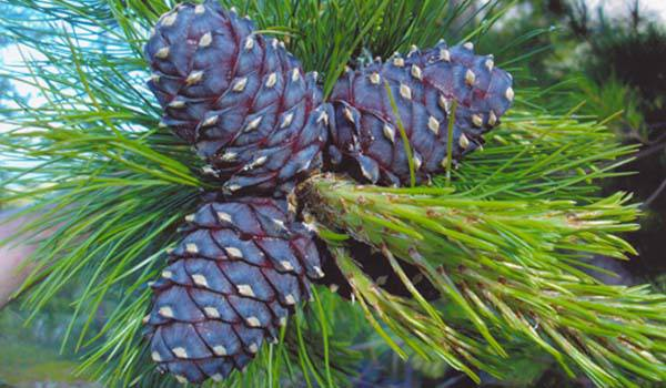 1_Wiki_Pinus_sibirica_photo_ugraland_CC-BY